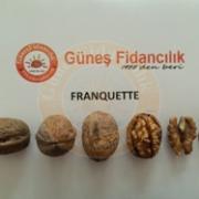 Franquette Ceviz Fidanı